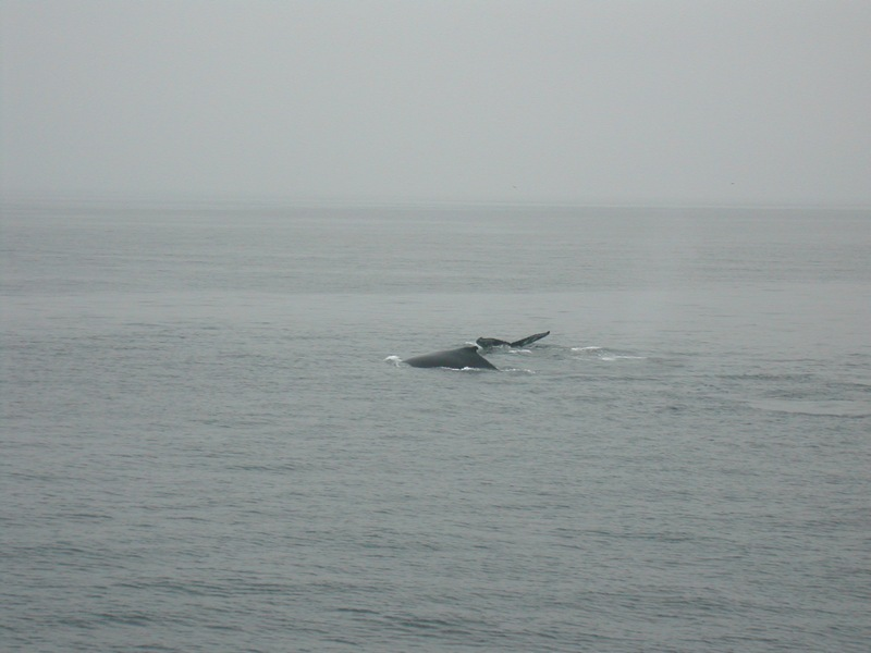 starboard view of whales on the Voyager III